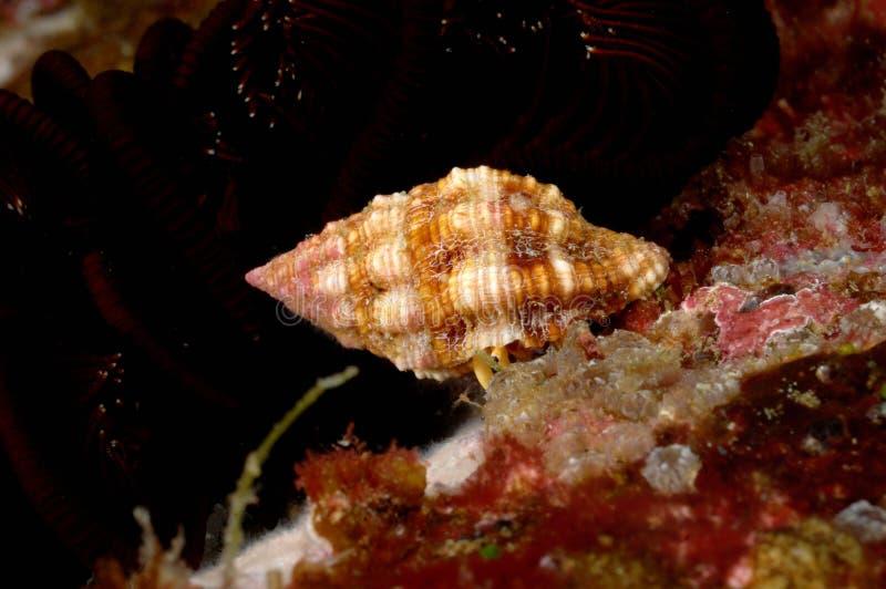 贝类亚齐印度尼西亚佩戴水肺的潜水 免版税库存照片