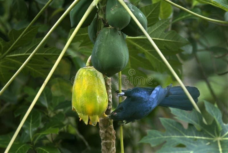 亚洲人哺养在番木瓜果子的Koel 免版税库存图片