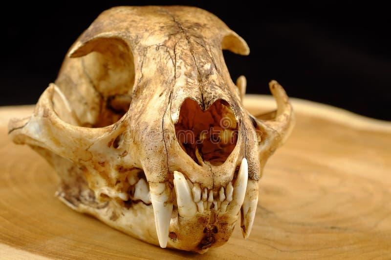 亚洲人goldden猫或Temminck的猫头骨和犬 免版税库存照片