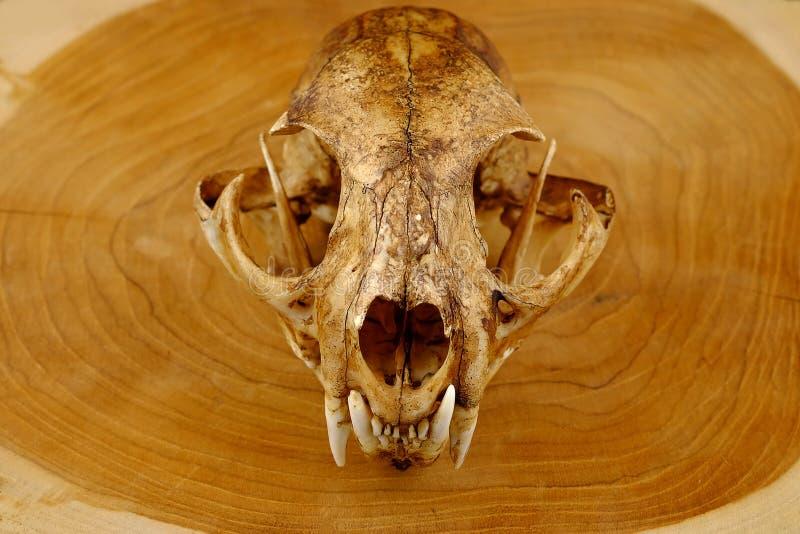 亚洲人goldden猫或Temminck的猫头骨和犬 免版税库存图片