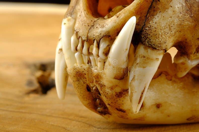 亚洲人goldden猫或Temminck的猫头骨和犬 库存图片