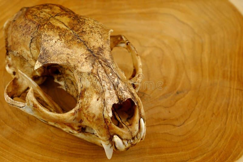 亚洲人goldden猫或Temminck的猫头骨和犬 库存照片