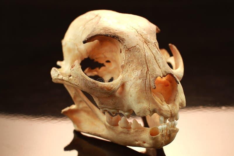 亚洲人goldden猫头骨和头骨在黑背景 免版税库存图片