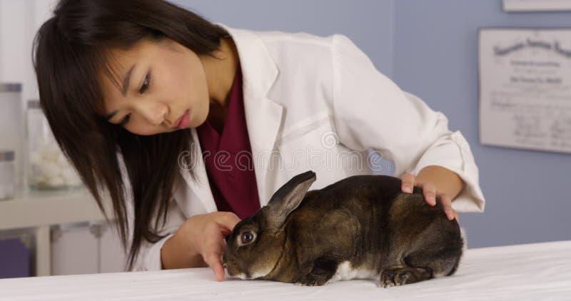 亚洲兽医检查兔子 免版税库存照片