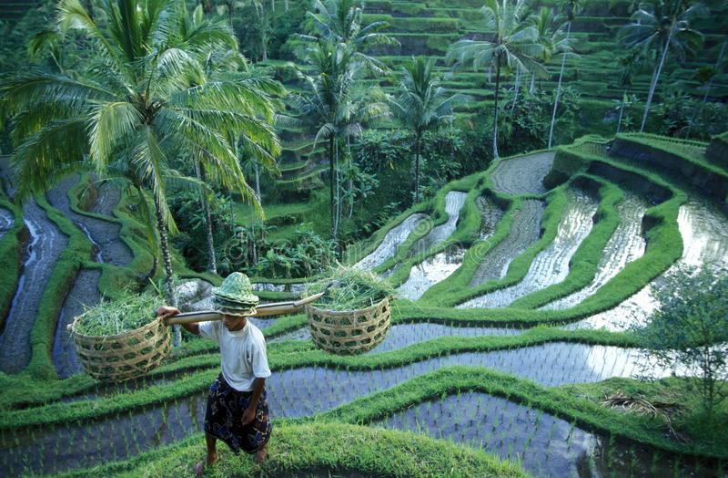 亚洲印度尼西亚巴厘岛米大阳台UBUD TEGALLALANG 免版税库存图片