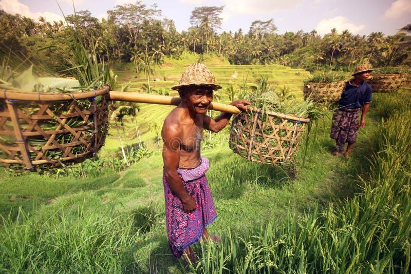 亚洲印度尼西亚巴厘岛米大阳台UBUD TEGALLALANG 免版税库存照片