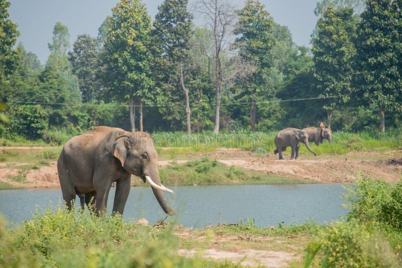 亚洲大象在森林里, surin,泰国 免版税库存图片