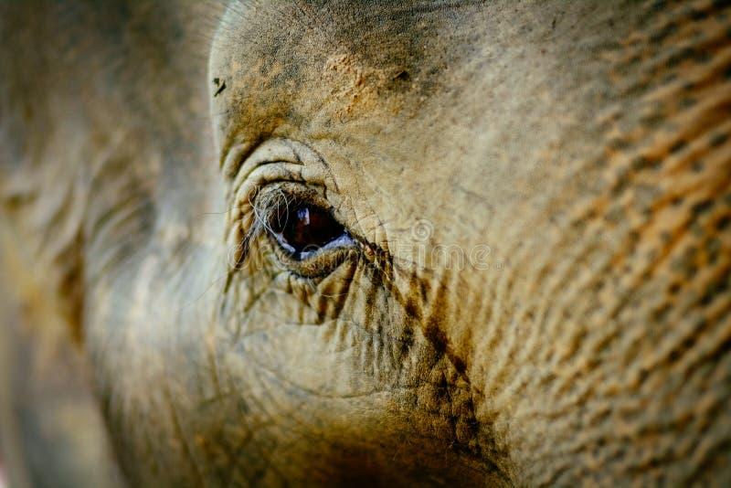 亚洲大象的深眼睛 免版税库存照片