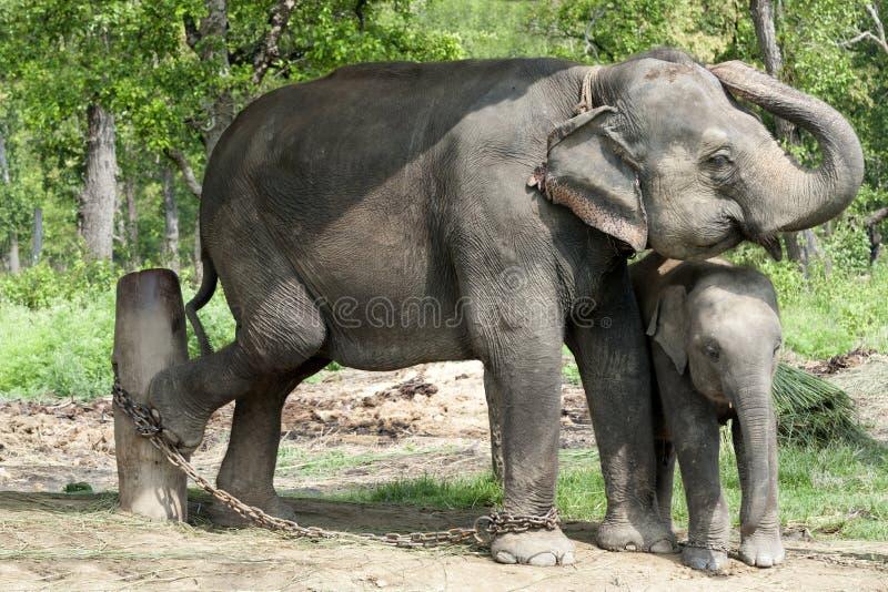 亚洲大象,尼泊尔 图库摄影