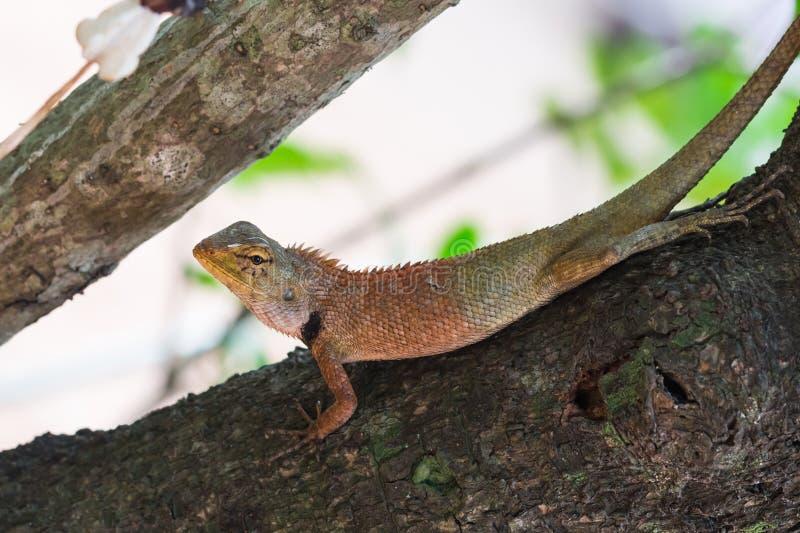 Download 亚洲小的蜥蜴 库存图片. 图片 包括有 蜥蜴, tokay, 通配, 背包, 盖子, 敌意, 爱好健美者 - 72369633