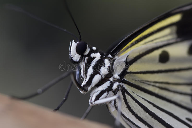 亚洲树若虫蝴蝶图片