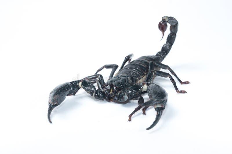 亚洲森林蝎子- Heterometrus spinifer 免版税库存图片