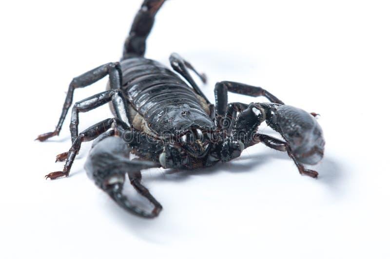 亚洲森林蝎子- Heterometrus spinifer 免版税库存照片