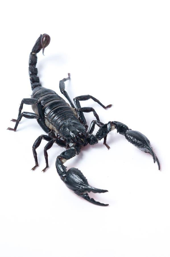 亚洲森林蝎子- Heterometrus spinifer 库存图片