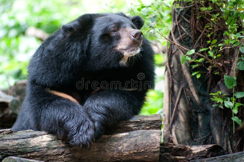 亚洲黑熊。 免版税库存图片
