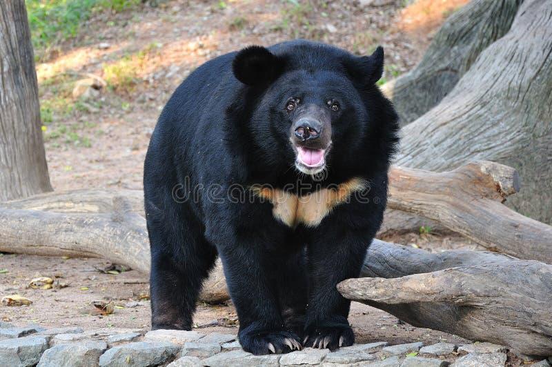 亚洲黑熊 免版税库存照片