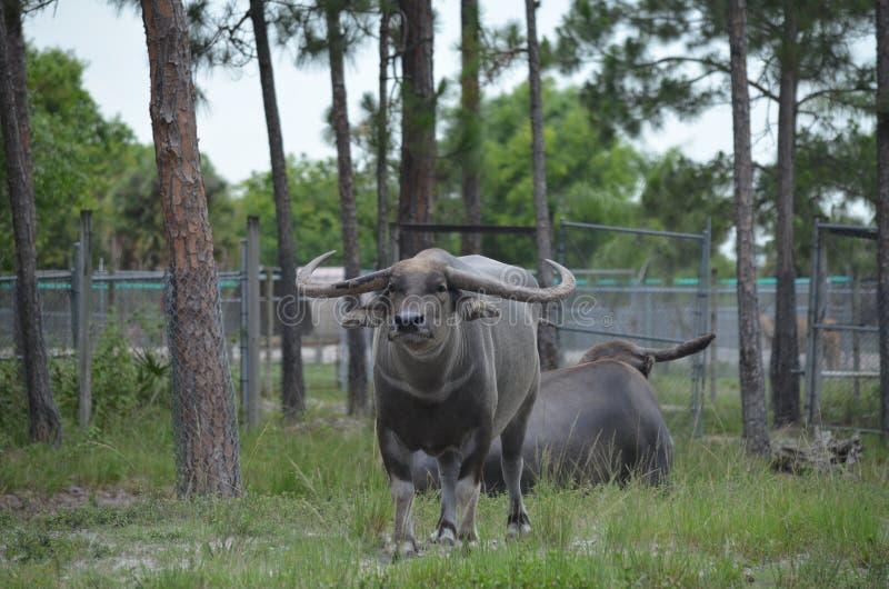 亚洲水牛水 免版税库存照片