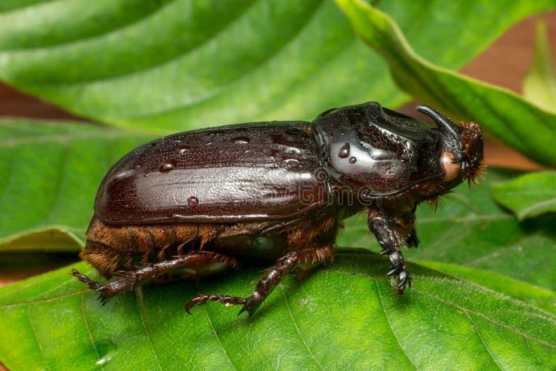 亚洲犀牛甲虫 库存照片