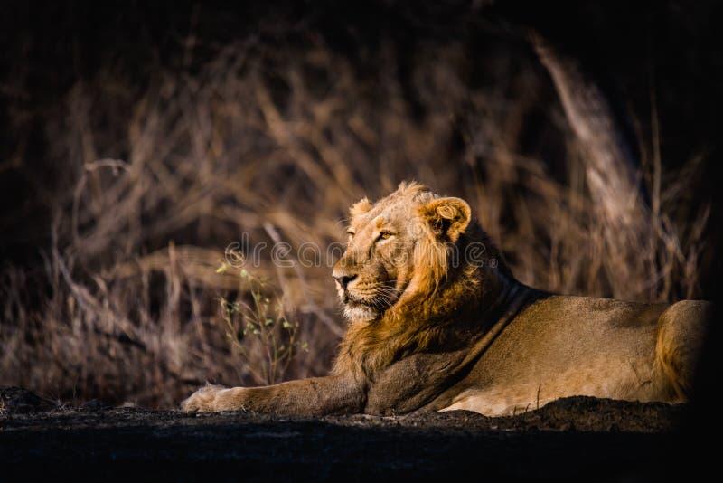 亚洲狮子休息 免版税库存图片