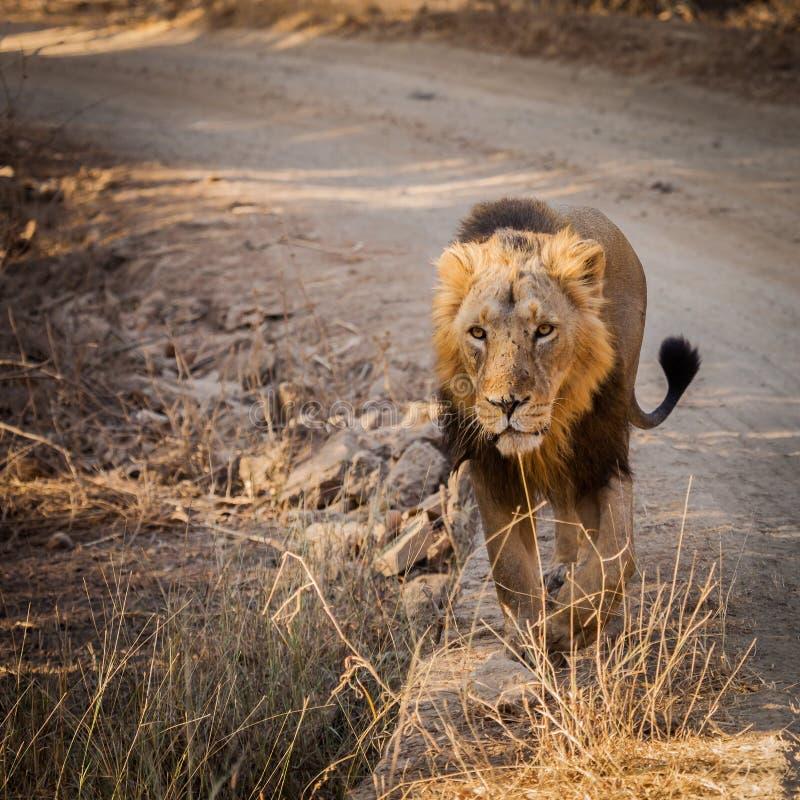 亚洲狮子本质上 库存图片