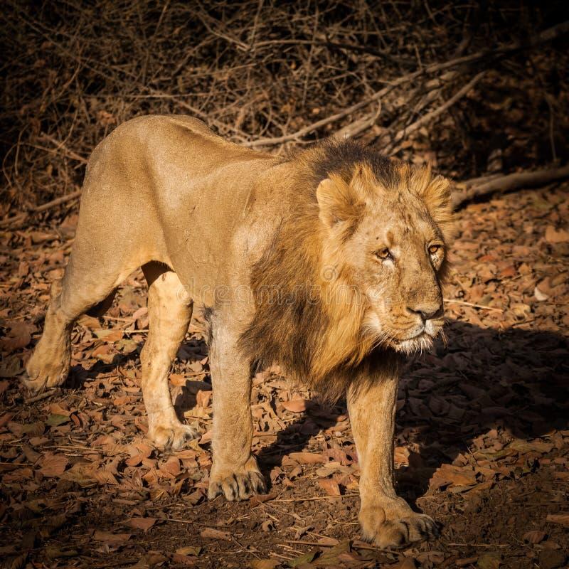 亚洲狮子本质上 图库摄影