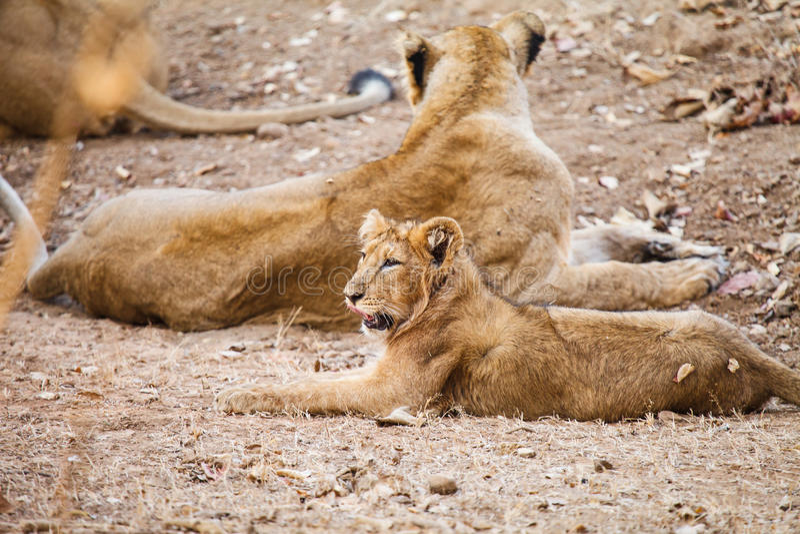 亚洲狮子 图库摄影