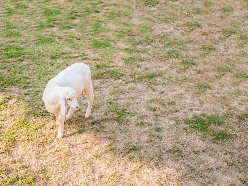 亚洲绵羊在干燥草坪的农场附近走 库存照片