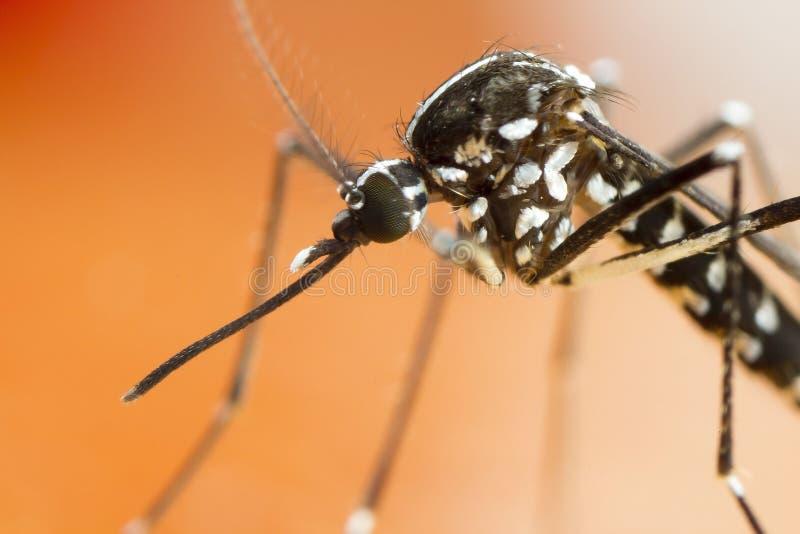 亚洲老虎蚊子(伊蚊属albopictus) 免版税库存图片