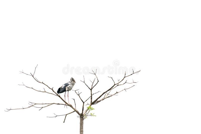 亚洲openbill鹳鸟在树栖息,隔绝在与拷贝空间的白色背景 免版税图库摄影