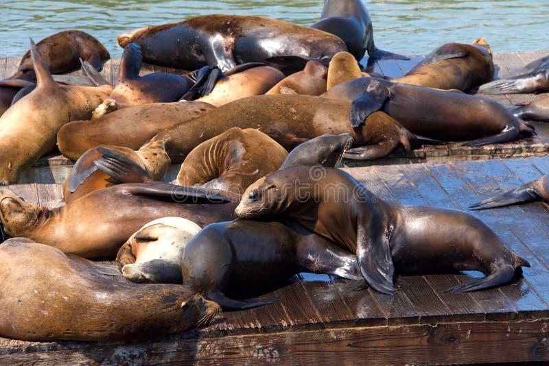 交往在木船坞的海狮 免版税库存图片