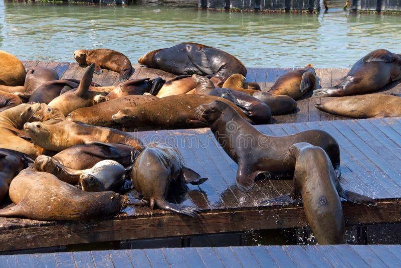 交往在木船坞的海狮 图库摄影