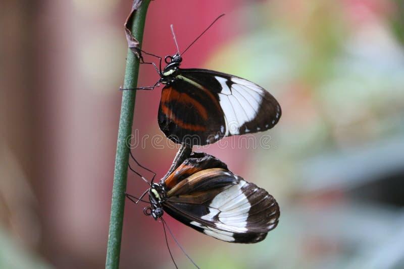 交配的butterflys 图库摄影