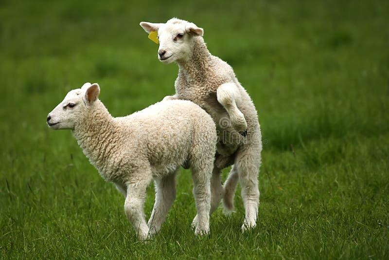 人和绵羊交配_在庭院的交配绵羊