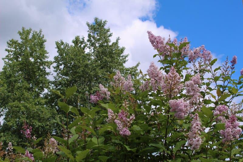 交错与树和天空的丁香 免版税库存图片