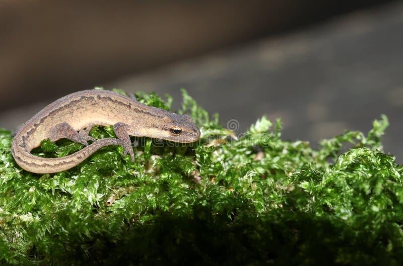 亦称一光滑的蝾螈在青苔的共同的蝾螈Lissotriton寻常的狩猎 库存照片