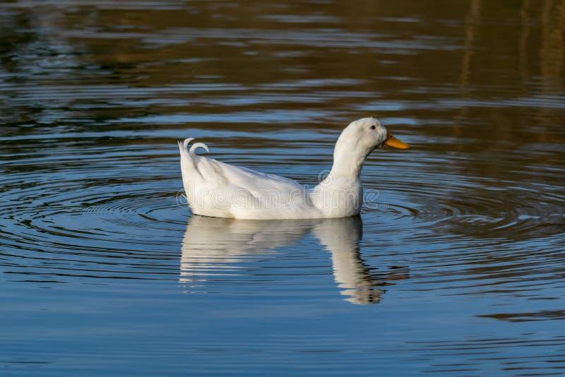亦称公雄鸭重的白色Pekin鸭子艾尔斯伯里或长岛在一个镇静湖的鸭子游泳有反射的 免版税库存照片