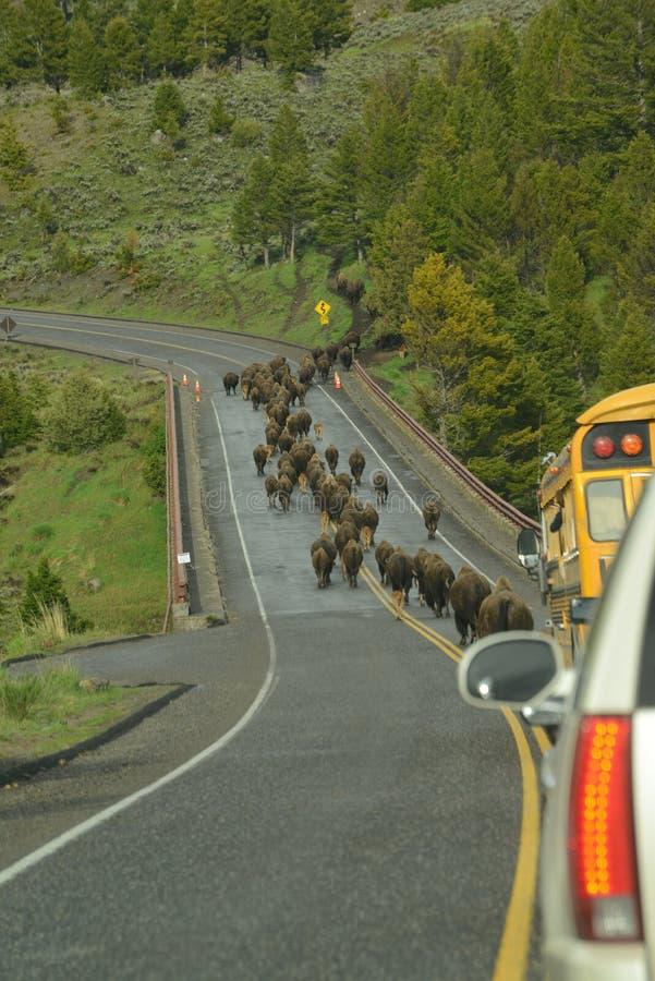 亦称北美野牛在迁移的水牛城牧群在一座桥梁在黄石 免版税库存照片