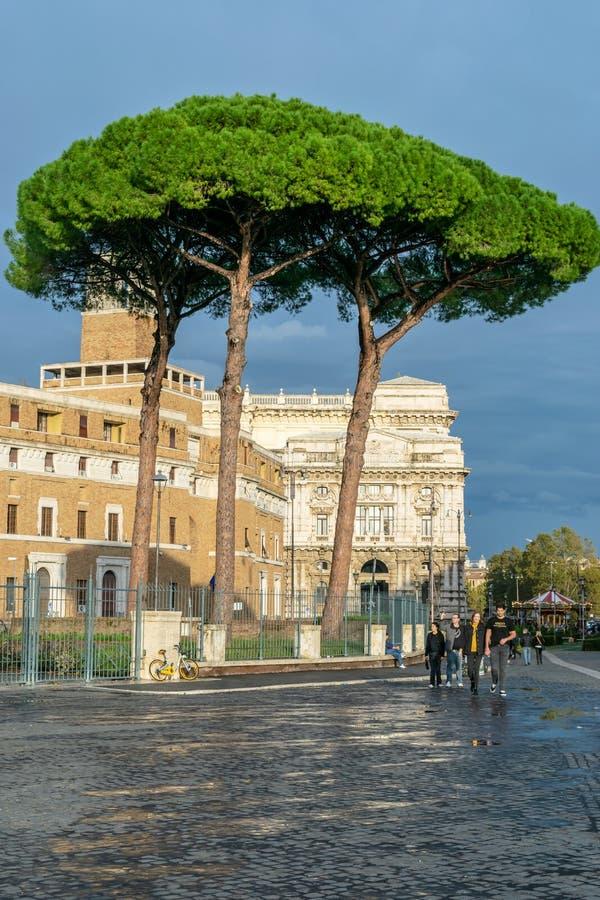 亦称意大利石松皮努斯Pinea日本金松/遮阳伞杉木,沿罗马街道的高大的树木  免版税库存图片