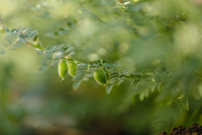 亦称新鲜的绿色鸡豆调遣,鹰嘴豆harbara或在北印度语和Cicer的harbhara是科学名字, 库存图片