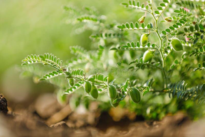 亦称新鲜的绿色鸡豆调遣,鹰嘴豆harbara或在北印度语和Cicer的harbhara是科学名字, 库存照片