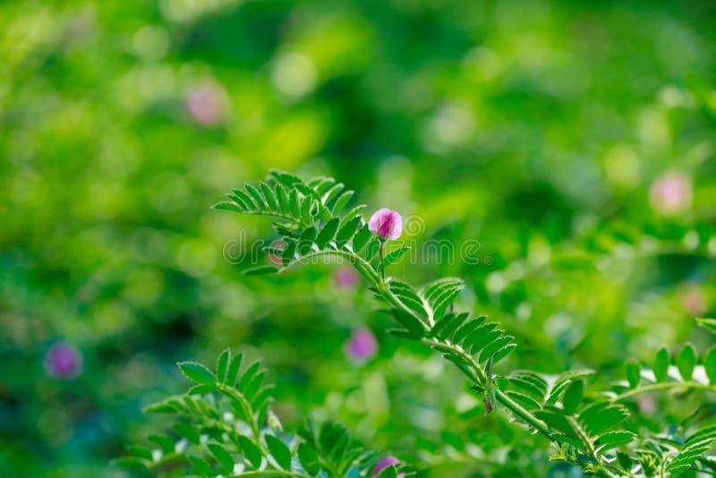 亦称新鲜的绿色鸡豆调遣,鹰嘴豆harbara或在北印度语和Cicer的harbhara是科学名字, 图库摄影