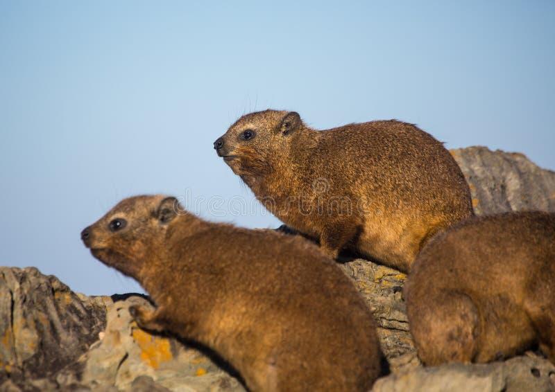 亦称日光浴岩石非洲蹄兔在水獭Trais的蹄兔属海角在印度洋 免版税图库摄影