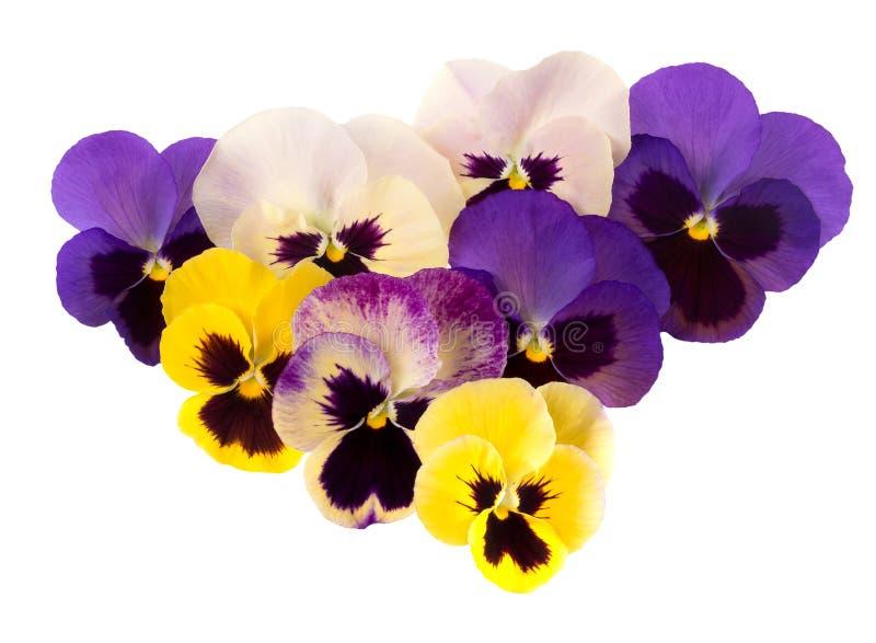 亦称春天庭院花-蝴蝶花中提琴 紫色黄色和pi 库存图片