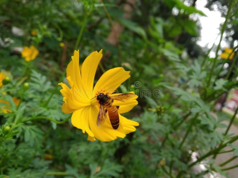 亦称波斯菊SULPHUREUS是硫磺波斯菊和黄色波斯菊 免版税库存照片