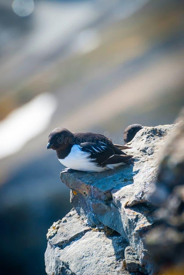 亦称海雀科的鸟 厚实开帐单的murre (尿lomvia)在岩石 库存图片