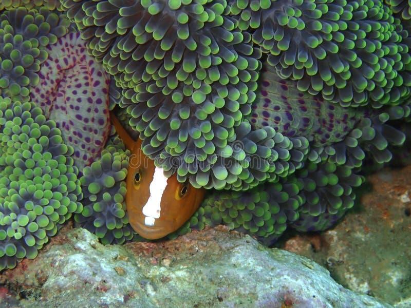 亦称特写镜头和双锯鱼perideraion宏观射击桃红色臭鼬clownfish或桃红色anemonefish在休闲二期间 免版税库存照片