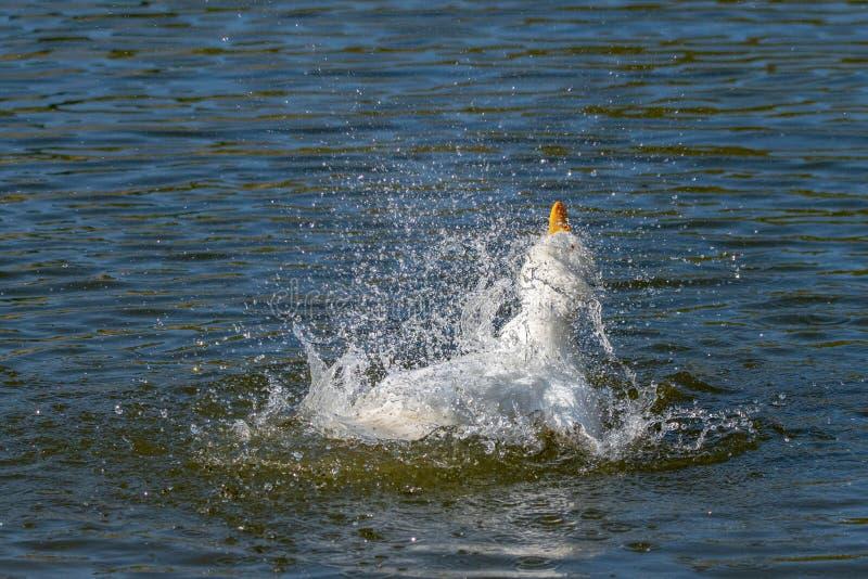 亦称白色艾尔斯伯里鸭子Pekin或长岛低头自夸的羽毛和飞溅水 免版税库存照片