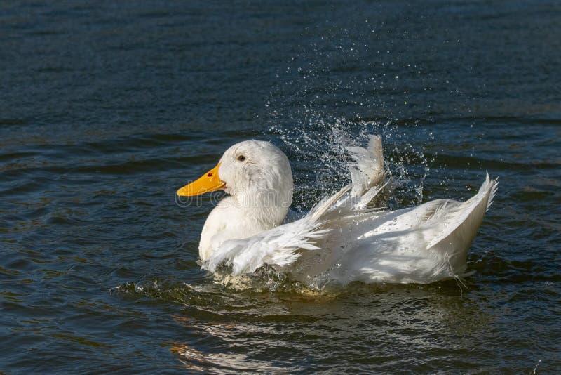 亦称白色艾尔斯伯里鸭子Pekin或长岛低头自夸的羽毛和飞溅水 免版税库存图片