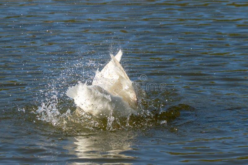 亦称白色艾尔斯伯里鸭子Pekin或长岛低头自夸的羽毛和飞溅水 库存图片