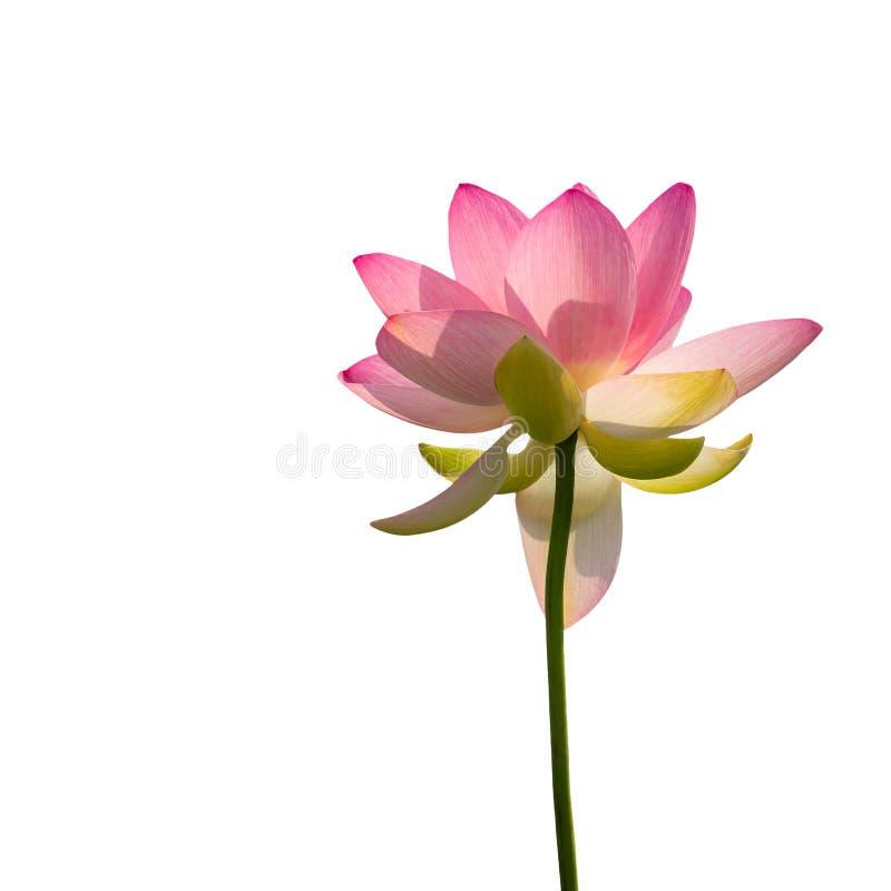 亦称莲属nucifera印度或莲 从向上在底下到达观看的桃红色花,隔绝在白色 库存照片